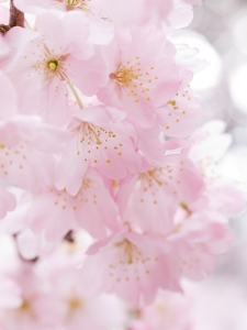 cherry-blossoms-1328212-m